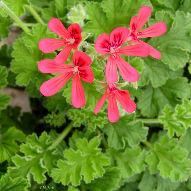 Pelargonium 'Concolor Lace'