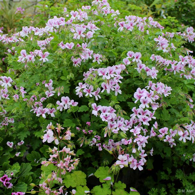 Pelargonium 'Frensham'