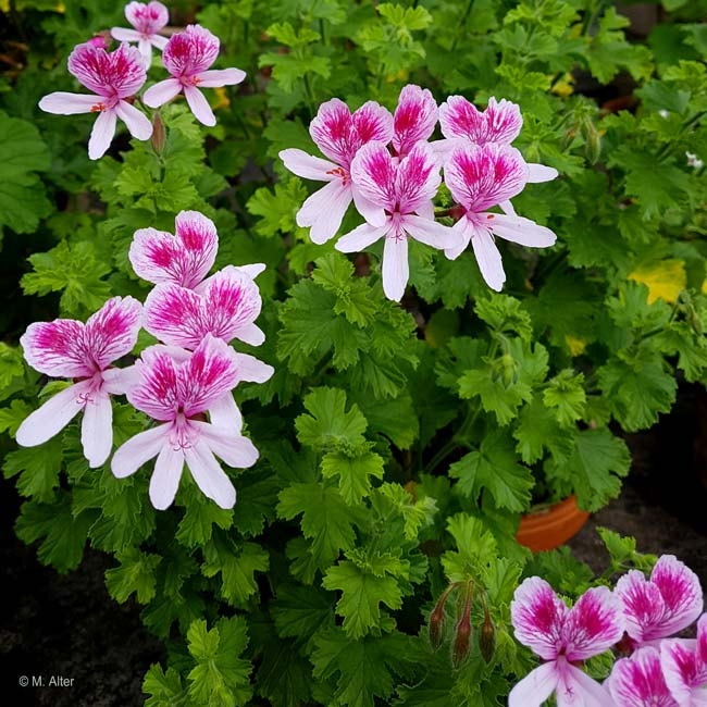 Pelargonium 'Lady Mary'