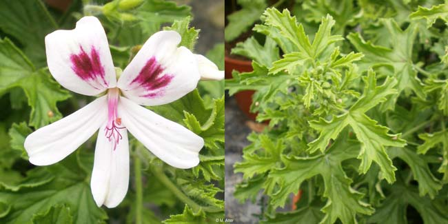 Pelargonium 'Lemon Kiss'
