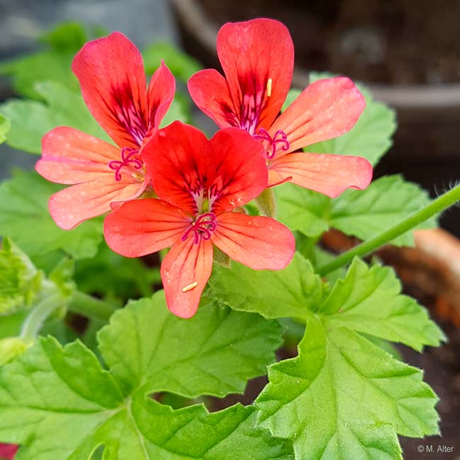 Pelargonium 'Mrs Kingsley'