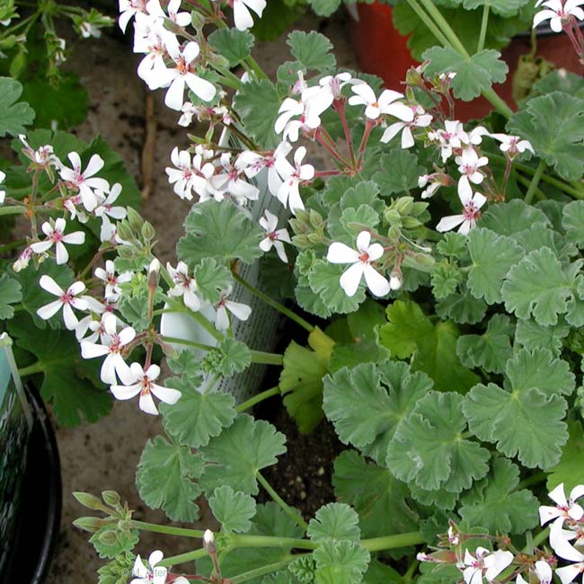 Pelargonium fragans