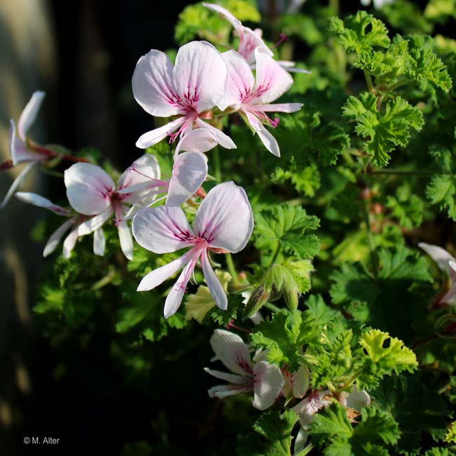 Pelargonium 'Peach Cream'