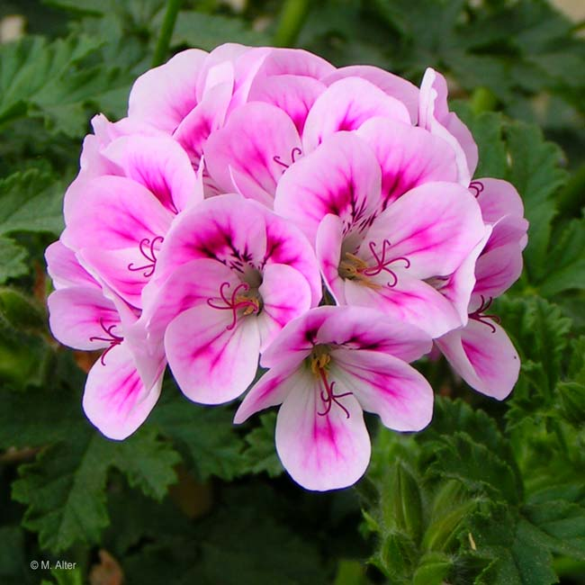Pelargonium 'Rose of England'